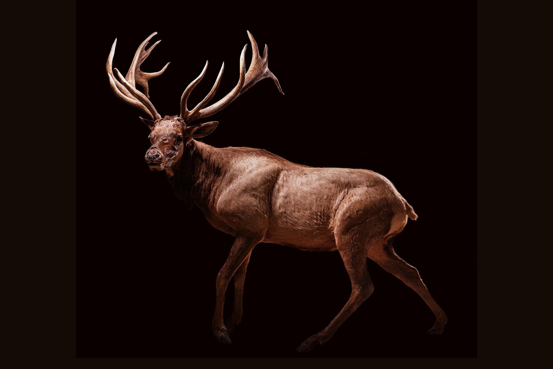 Full Body Elk Mount Samsons Mountain Whitetail Deer