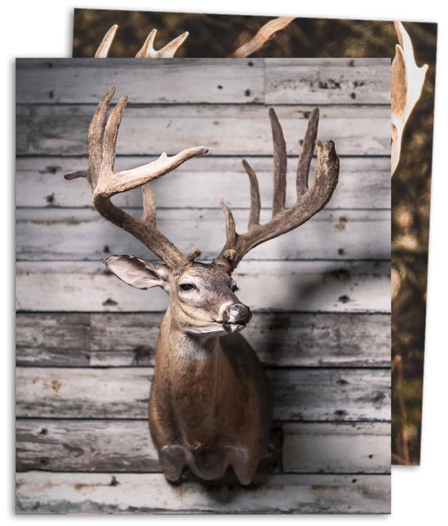 Deer Shoulder Mount Samsons Mountain Whitetail Deer