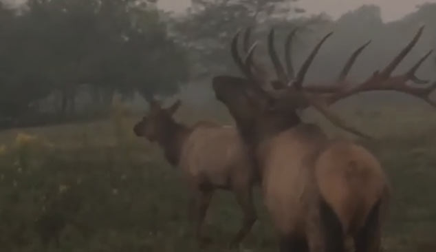 Large Elk And Cow Samsons Mountain Hunting Grounds