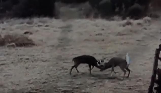 Large Whitetail Bucks Fighting Samsons Mountain Hunting Grounds