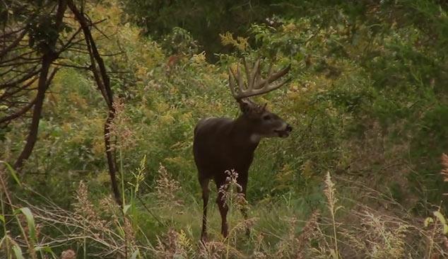 Large Whitetail Buck Samsons Mountain Hunting